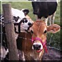 Emily, Olivia the Cows