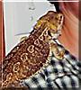 Spike the Bearded Dragon