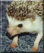 Tiggy the African Pygmy Hedgehog
