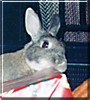 Jessie the Netherlands Dwarf Rabbit