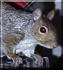 Alex the Eastern Gray Squirrel