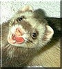 Tiger the Ferret