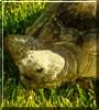 Jazzi the California Desert Tortoise