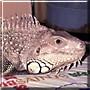 Bodhi the Iguana
