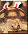 Angel the African Spurred Tortoise