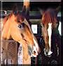 Java, Sally the Horses