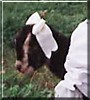 Justa the La Mancha Goat