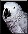 Baracus the African Grey Parrot