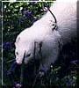 Gambit the Albino Ferret