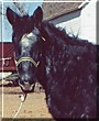 Blue the Belgian Draft Horse