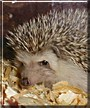 Prickles the African Hedgehog