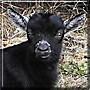 Goatee the Pygmy goat