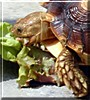 Stuci the Spur Thighed Tortoise
