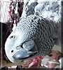 Shaba the Congo African Grey