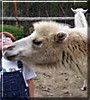Kyzyl the Bactrian Camel