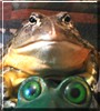 Webster the African Burrowing Bullfrog