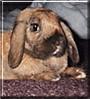 Leo the Holland Lop