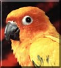Chicklet the Sun Conure