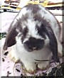 Studwell the Lop Eared Rabbit