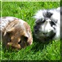 Ivy, Pony the Guinea Pigs