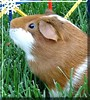 Brownie the Guinea Pig