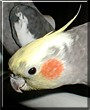 Kokee the Cockatiel