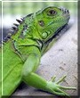 Tut the Green Iguana
