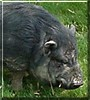 Bacon the Vietnamese Pot Bellied Pig
