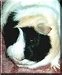 Fluffy the Guinea Pig