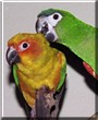 Ziggy, Zuka the Hawn's Macaw, Sun Conure