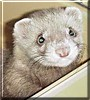 Tribble the Ferret