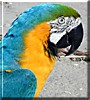 Lahaina the Blue and Gold Macaw