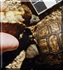 Jerry, Lucy the Argentine Tortoises