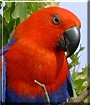 Soledad the Redsided Eclectus