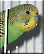 Bijou the Green and Yellow Budgie