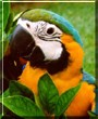 Baby the Blue and Gold Macaw