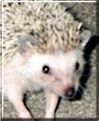 Reggie the African Pigmy Hedgehog