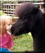 Sebastian the Miniature Shetland Pony