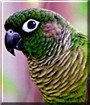 Cosmo the Conure
