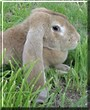 Baby the English Lop