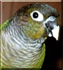 Peewee the Green Cheek Conure