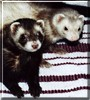 Jada, Mishka the Champagne, Sable Ferret