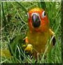 Tera the Sun Conure
