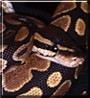 Suede the Ball Python