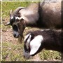 GH, Mrs. GH the Pygmy Goats