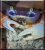 Elvis the Rainbow Crab