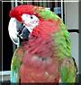 Elijah the Macaw Parrot