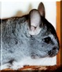 Chester the Chinchilla