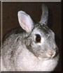 Bugnublet the Netherland Dwarf Rabbit