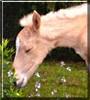 Sarafina the Paso Fino Horse